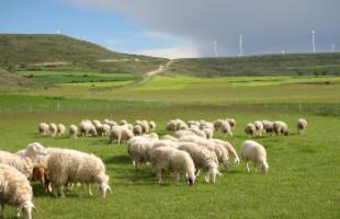 eco-ovejas